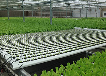 Deep Flowing Technique hydroponic system
